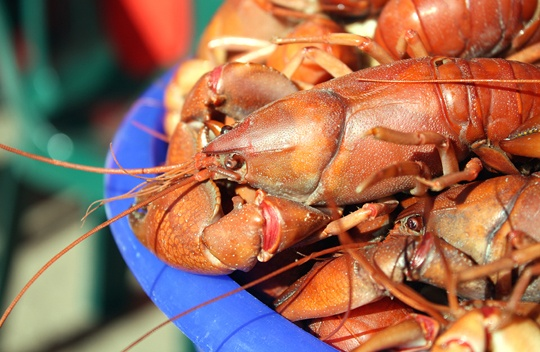 Aussie's know yabbies: There's pineapple yabby, lemon yabby, coconut yabby, pepper yabby, yabby soup, yabby stew, yabby salad, yabby and potatoes, yabby burger, yabby sandwich...