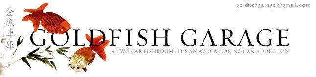 Goldfish breeding blog