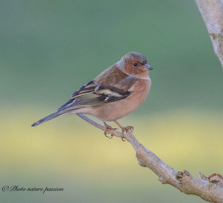Chaffinch on branch - null