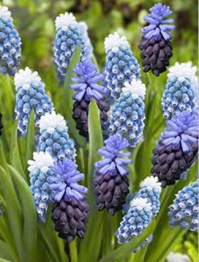 Egyéb - FEXIN Virághagyma Webáruház virághagymák, virághagyma rendelés, virághagyma, holland virághagyma, virág, gumós virágok, hagymás virágok, tavaszi virágok, nyári virágok, őszi virágok, különleges virágok, kerti virágok, cserepes virágok, dughagyma, tulipán, tulipánhagyma, tulipánok, nárcisz, amarillisz, díszhagyma, jácint, krókusz, virághagyma, virághagymák