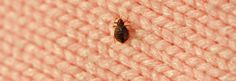 Checking into a hotel for a holiday vacation? Beware the potential bed bugs. Hotels and motels can be hotspots for infestations of the small reddish-brown insects, who can hitch a ride on luggage and clothing and live happily in a hotel bed. If these bloodsuckers get into your luggage and travel home with you, that can cause a tough-to-beat infestation. Here are five steps that will help you avoid a bed bug encounter during your vacation.