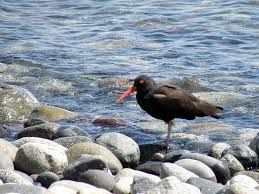 The African Oystercatcher,found all along the coast of Hermanus and surrounds its bill is capable of smashing through most molluscs http://www.windsorhotel.co.za/