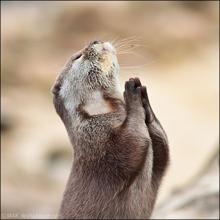 I promise, if you find me the fish, I'll be a better otter from here on out : The Lord, Prayer, Dear God, Funny Animal Pictures, Otters, Pet, Fish, Weights Loss, Animal Funny