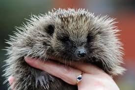 Image result for hedgehog sanctuary