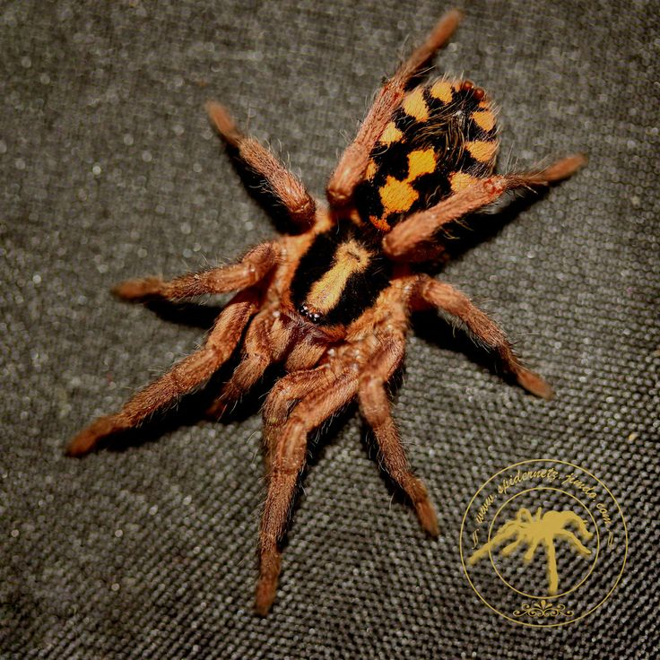1183 best spiders images on pinterest insects bugs and reptiles. Black Bedroom Furniture Sets. Home Design Ideas