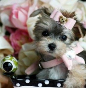 Nothing sweeter than a baby yorkie Yorkies Pinterest