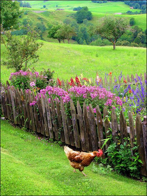 oh, how lovely it is to keep chickens in the garden