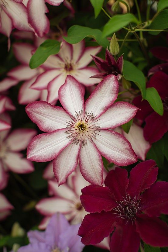 203 best Clematis images on Pinterest Flowers Clematis plants