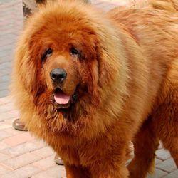Cão da raça mastiff tibetano - O mais caro do mundo