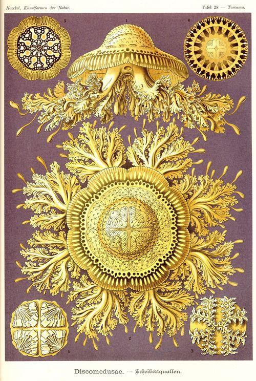 Ernst Haeckel - Kunstformender Natur 1899-1904