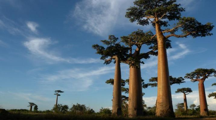 De kæmpe store baobab træer