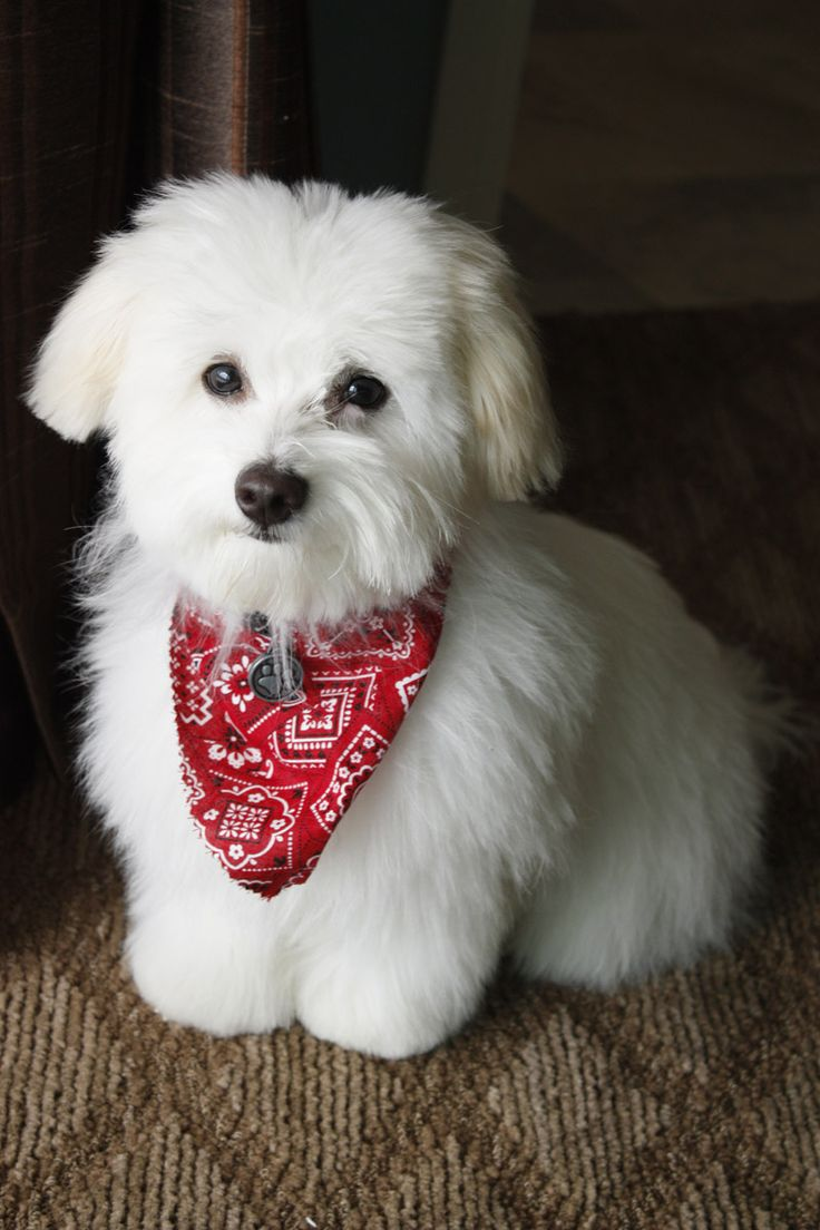 Maltese Dog Haircut Styles