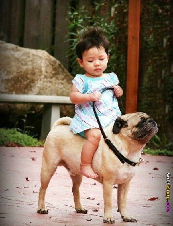 Baby riding a pug.Little Girls, Except, Dogs, Funny, Children, Pugs, Asian Baby, Kids, Animal