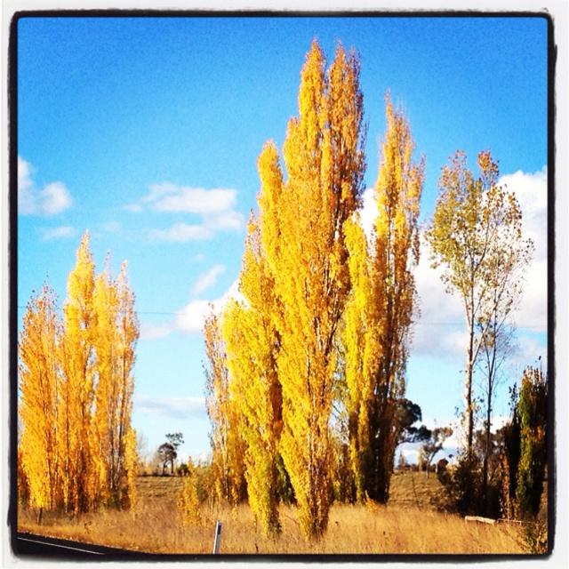 Poplars, north of Glen Innes, NSW.