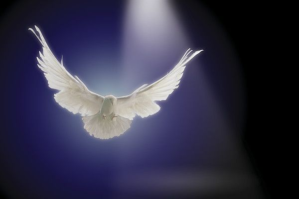 Dove Flying Through Beam of Light.  ~ Comstock Images ~