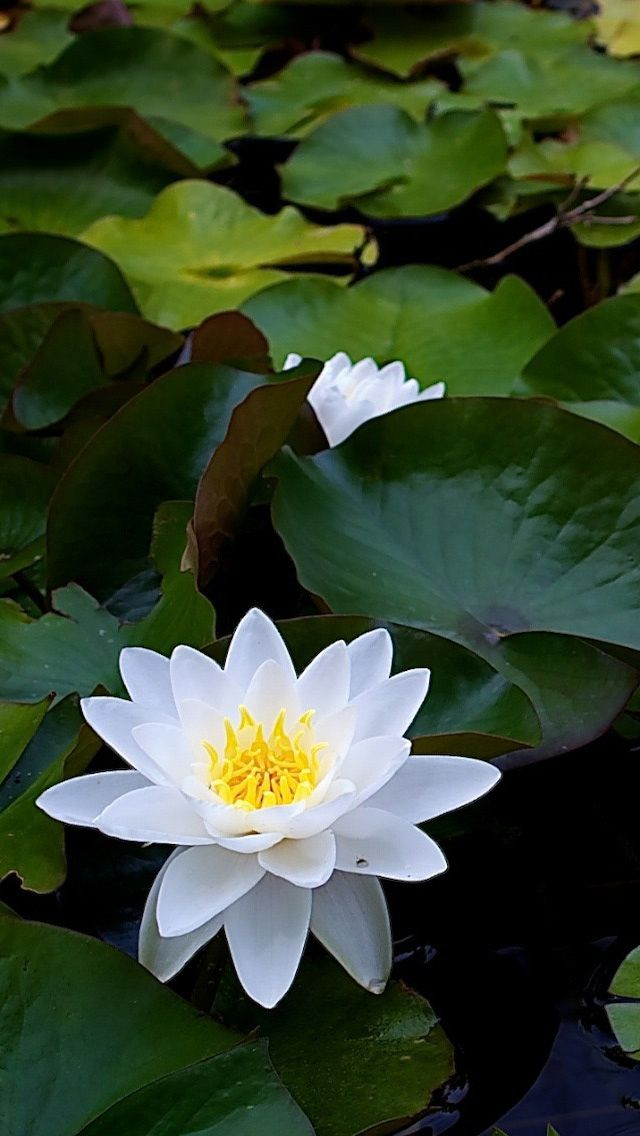 best  white lotus ideas on   lotus, white lotus, Natural flower
