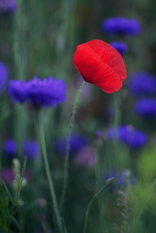 Poppy and cornflowers @Sabrina Majeed Majeed Lynn Packard I remember the garden you had in Belfast that was filled with these