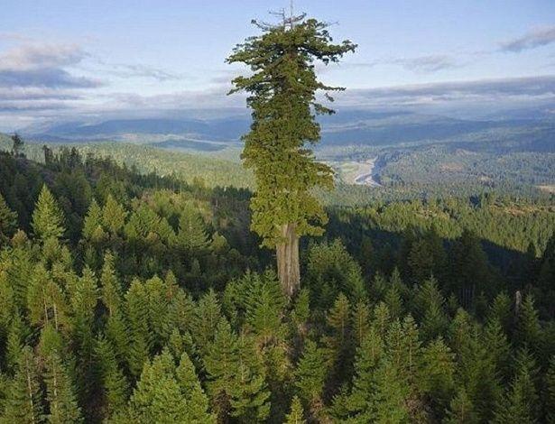 Árvore mais alta do mundo. A árvore existente que alcança o maior comprimento vertical é uma sequoia vermelha (Sequoia sempervirens), batizada de Hyperion. Ela foi descoberta pelos pesquisadores Christ Atkins e Michael Taylor no Parque Nacional Redwood, na Califórnia, em 2006. A medida inicial atingiu uma altura de 115,24 metros, mas a árvore foi medida novamente por Steve Sillett, Mike Taylor, Chris Atkins e Robert van Pelt, que escalaram a árvore com um fita métrica.  Fotografia…