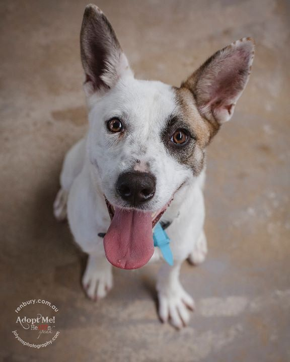And for those who've forgotten, this is the gorgeous Laya! The girl who's tail has been chopped off half way. I can't believe that I met her two weeks ago and she still doesn't have an adoption, or even a rescue. Why she is being overlooked dumbfounds me. | by Jo Lyons Photography