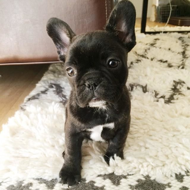 My Red Fawn French Bulldog French Dogs French Bulldog