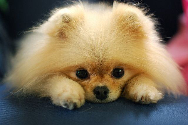 Nothing is more precious than the face of a Pomeranian waiting for your return home
