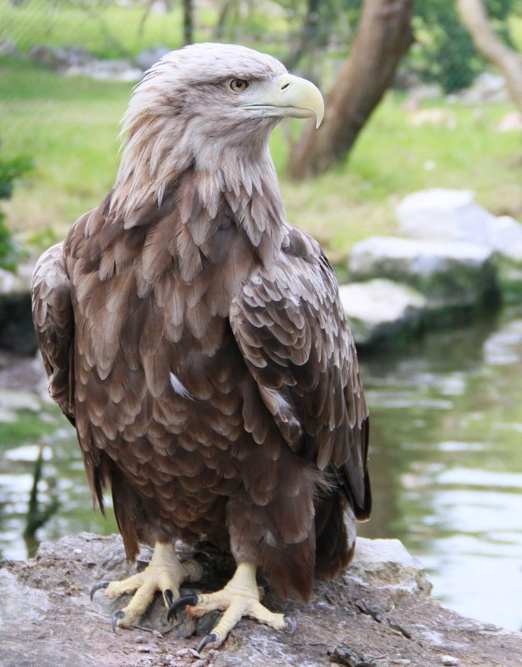 A White-tailed Sea Eagle at Fota Wildlife Park