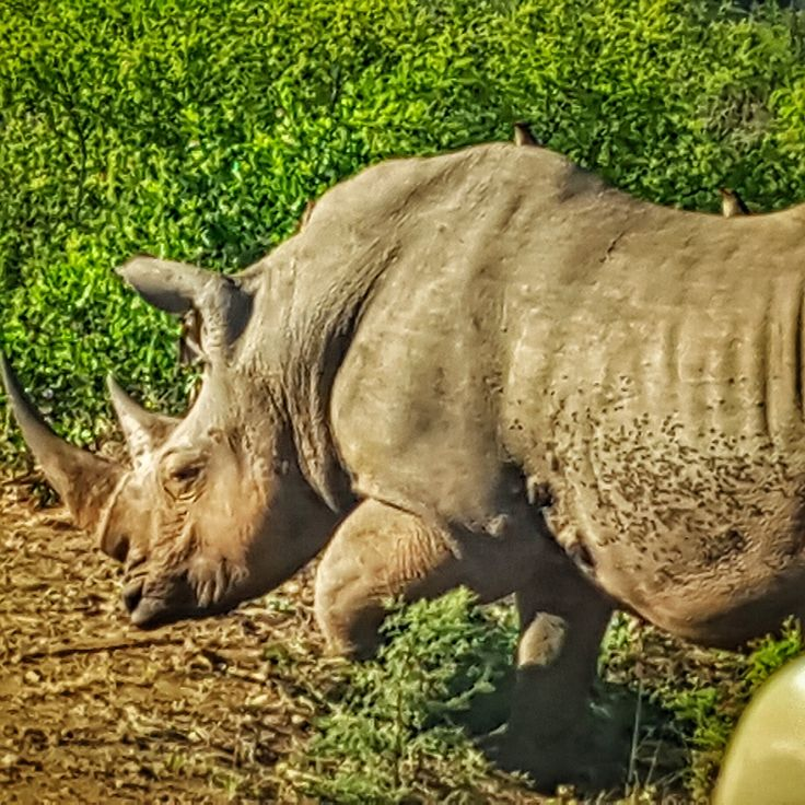 Male rhino doing his morning rounds, Hluhluwe-Imfolozi Park. We followed him for nearly an hour!