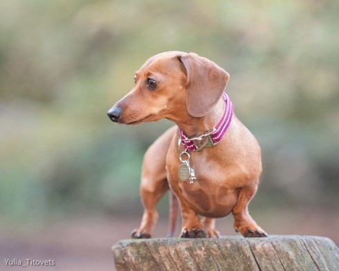 475 Best Images About Of The Dachshund Persuasion On