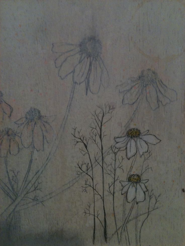 Illustration of camomile on gessoed board. For an exhibition with Seven Minutes Collective, Norwich.