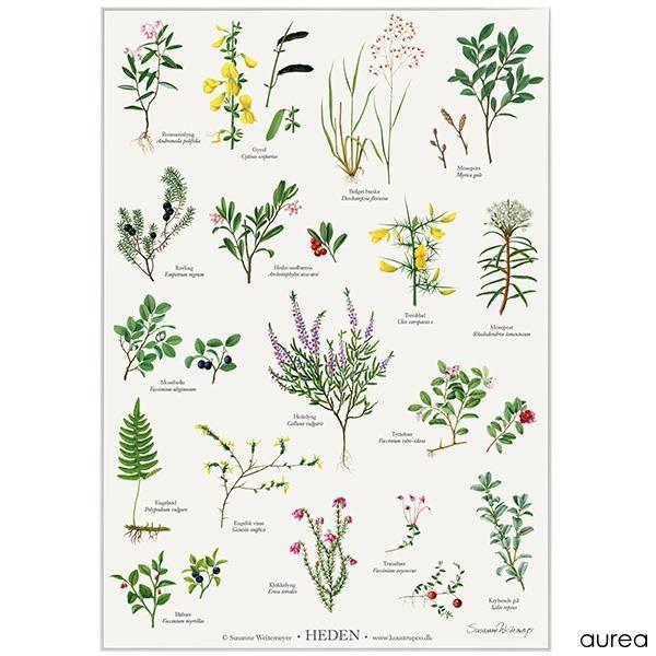 Koustrup Co Plakat Laegeplanter Plakater Blad Tegning Plante Tegning