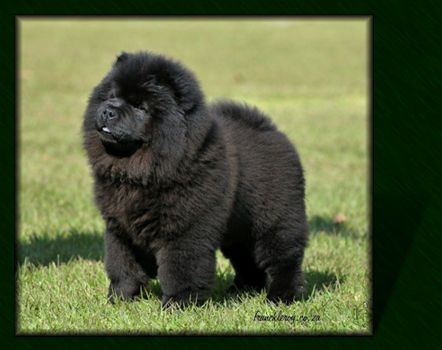 Black chow chow puppies - any one want a little black bear?
