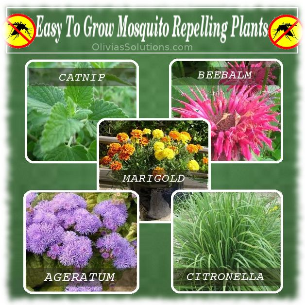 Easy to grow mosquito repellent plants plants for Small easy to grow plants