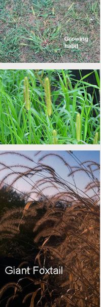 Foxtail: mow it in, causes mouth blisters in horses due to burs that cause blisters in mouth and GI tract,  Control:  Pre-Emerg: pendimethalin, balan + trifluralin (trade name Team), balan, dithiopyr, prodiamine, corn gluten meal, and siduron (only one that can be used when reseeding). The herbicide isoxaben can be used to control certain broadleaf weeds preemergently in lawns but it is not available for homeowner use.  Post-Emergence: selective herbicides quinclorac and fenoxaprop