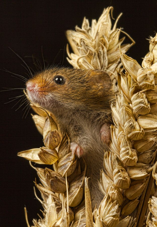 Harvest Mouse. They blend so well with their environment. No wonder we rarely see them. Fabulous image!