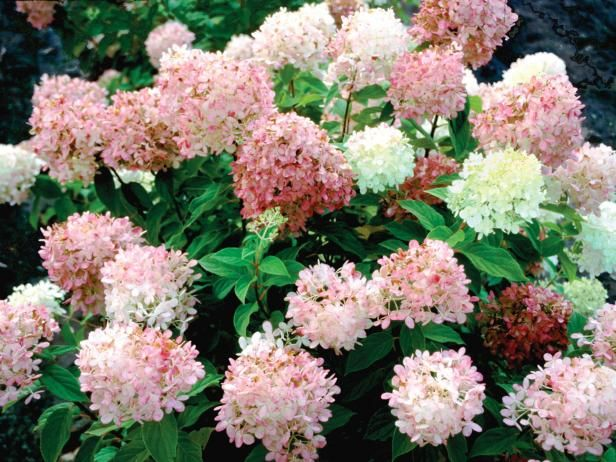Learn about feeding hydrangeas, including tips on using specialized hydrangea fertilizer, from the experts at DIY Network.