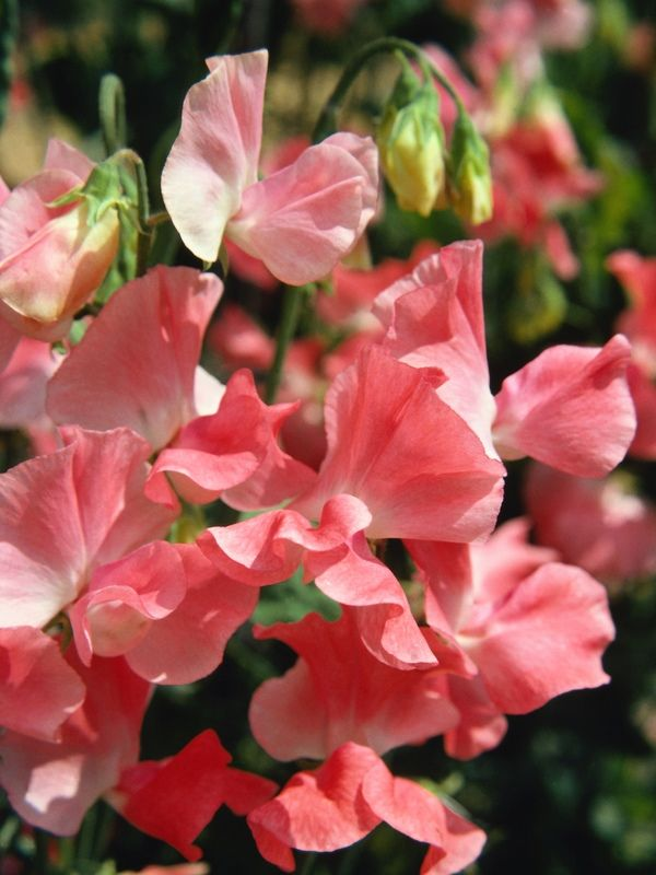 How to plant sweet peas from seed and grow these gorgeous flowers! -- It's probably unlikely that I will ever be able to grow them, but if I do.....   Here's another link that I was unable to pin:  http://www.reneesgarden.com/articles/swtpea-07-organic-gardening.pdf