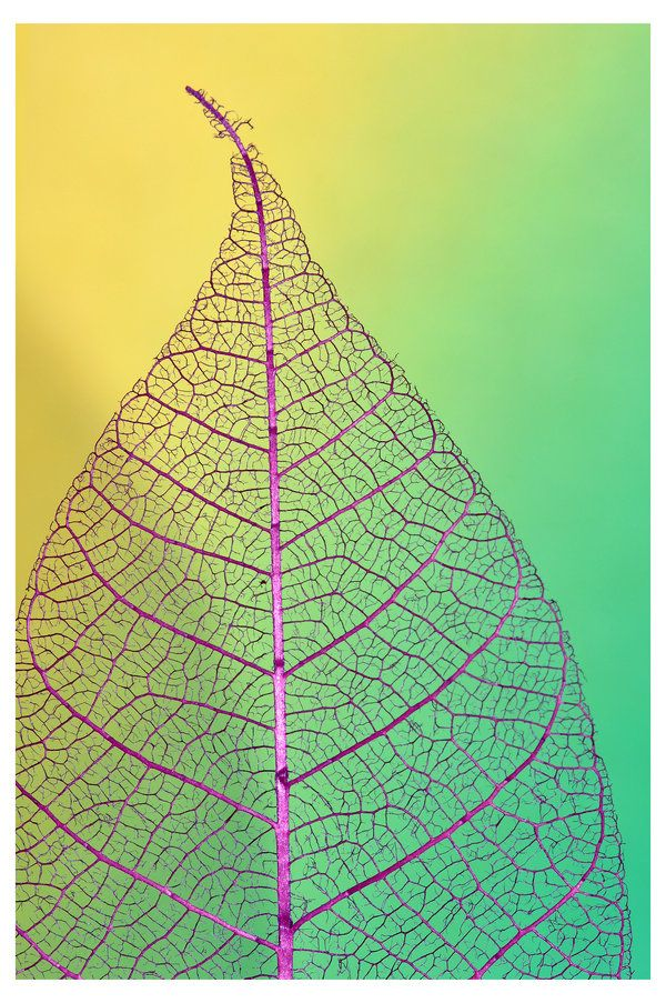 leaf skeleton - delicate shades of green, yellow, and purple