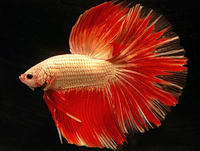 Beautiful cambodian type betta splendens male fighting for Names for betta fish
