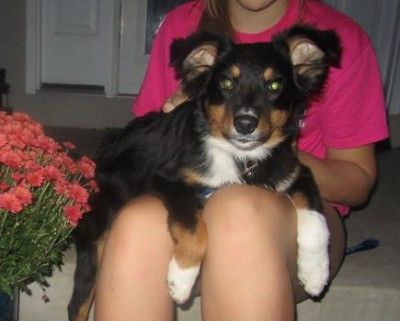 Tuxey ASRM 0131, an adorable little 4 month old black tri Australian Shepherd female, has been adopted