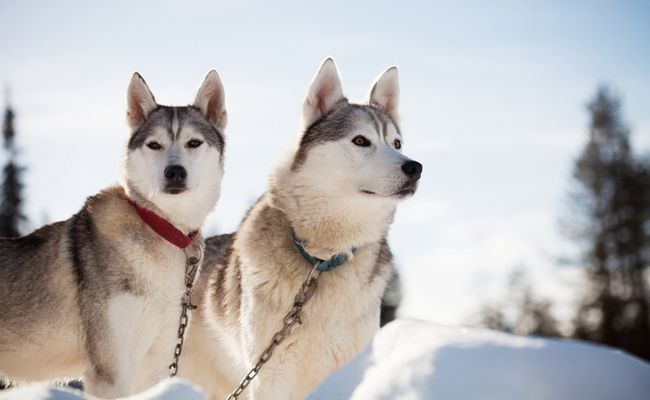 Dark Side Of The Sled Dog Industry Exposed In New Film | Care2 Causes