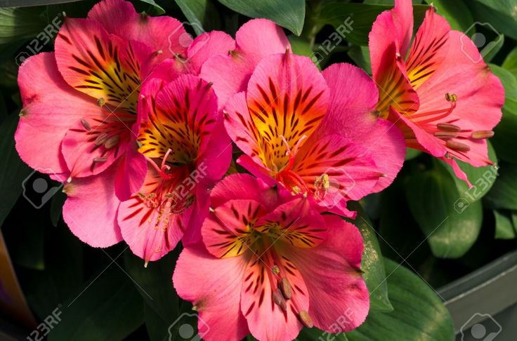 A Fresh Bouquet Of Pink Peruvian Lily Flowers Stock Photo, Picture ...