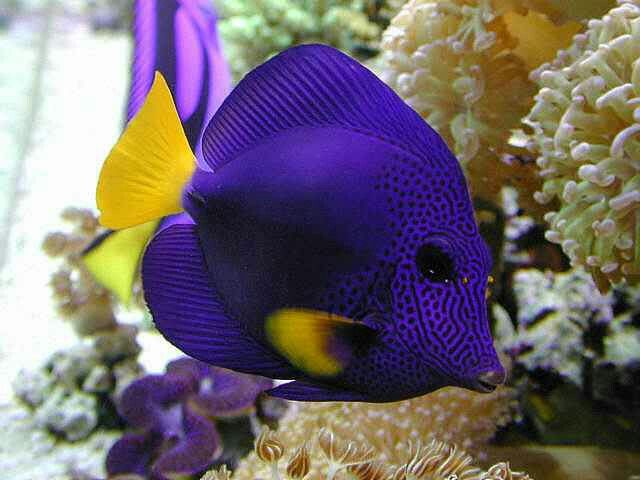Exotic Salt Water Angel Fish