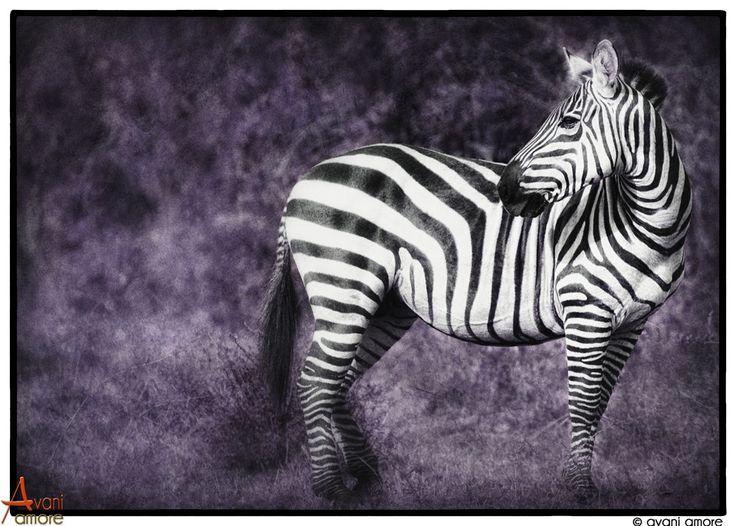 Beauty is the spirit shining through.  Zebra of the Masai Mara, Kenya.  Photo and Art by #avaniamore  www.avaniamore.com