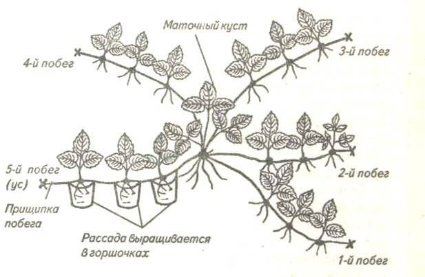 Размножение клубники земляники