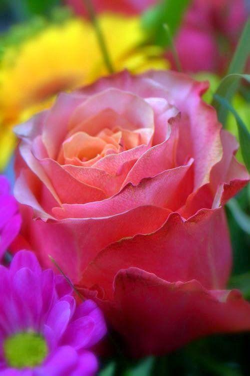 Soft Rose   Express Photos - http://dulichnhatrang.info.vn