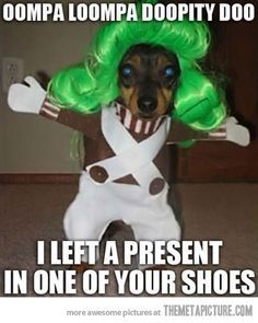 ♥ Funny Pets ♥  Oompa Loompa Dog… can't stop laughing #funnyanimalscan'tstoplaughing