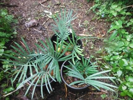 Cycad Kennedyana, 3 seedlings to 6in pot | Plants | Gumtree Australia Rockhampton Surrounds - Mount Morgan | 1143016743