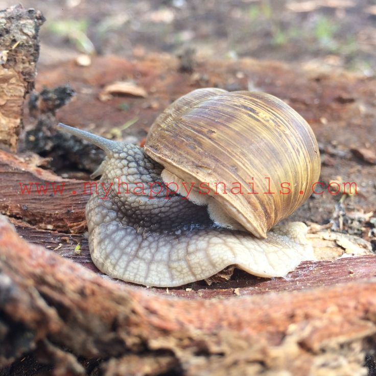 Big Roman snail - Helix Pomatia. Great as pet snail :)