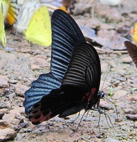 Kaeng Krachan National Park Thailand Butterfly