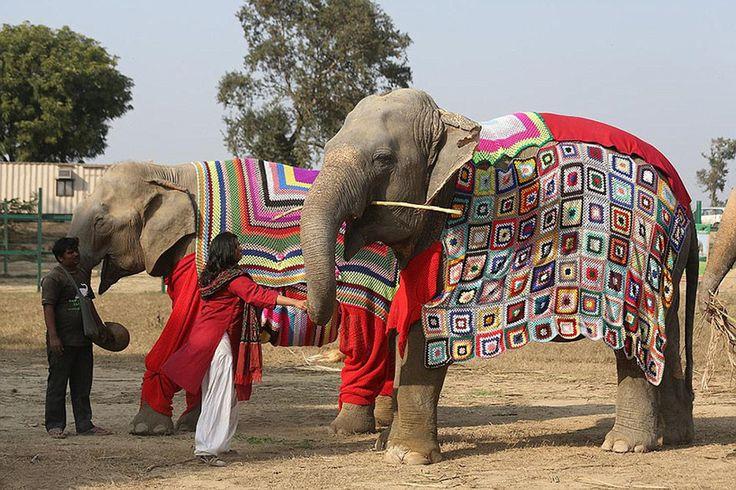 На севере Индии наступила аномально холодная погода и местные жители всерьез обеспокоены за здоровье… слонов. Чтобы эти нежные животные не простудились, индианки вяжут им яркие попоны со «штанинами» — и выглядят в них гигантские млекопитающие очень нарядно